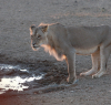 We had three adolescent lions at the Nossob waterhole for 24 hours. Stunning viewing.