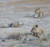 The three brothers visiting Nossob waterhole. This taken late afternoon from the hide.