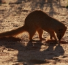 Yellow Mongoose - a resident around the chalets at Twee Rivieren