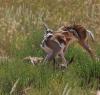 En route to Nossob. Baby Springbok.