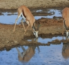 Springbok at the Nossob waterhole.