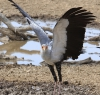Secretary bird - Nossob waterhole.