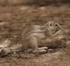 Nossob camp resident - ground squirrel.