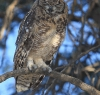 Game drive - Spotted Eagle Owl.