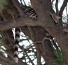 The most photographed lesser spotted genet around...